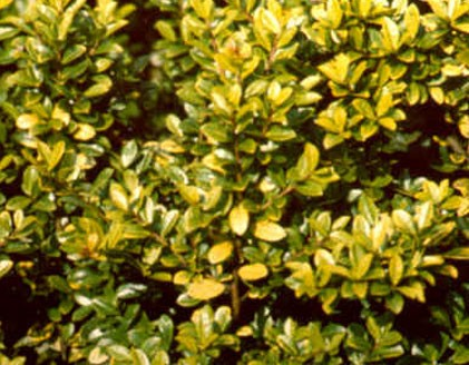 Ilex Crenata Golden Gem Glasshouse Works