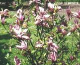 Eupatorium fortunei Pink Frost