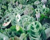 Maranta leuconeura kershoveana variegated