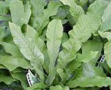 Microsorium musafolium