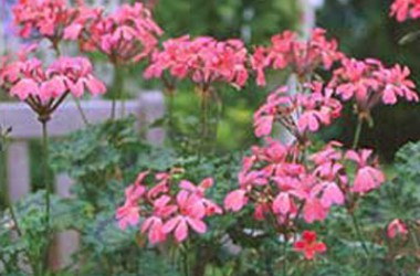 Pelargonium hortorum Grossersorten