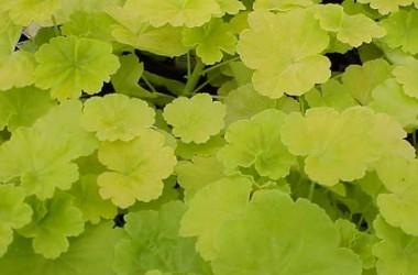 Pelargonium hortorum Persian Queen