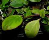 Peperomia clusiifolia variegata [hort]
