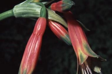Phaedranassa chloracra