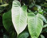 Philodendron ecuadoriense [Hort]