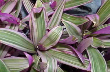 Splendid Spiderwort Collection (5 Plants)