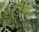 Polypodium (phlebodium) aureum mandianum