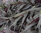 Alpinia luteocarpa