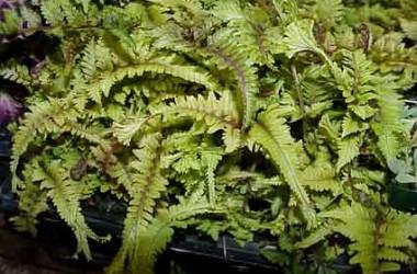 Athyrium georingianum pictum cristatum