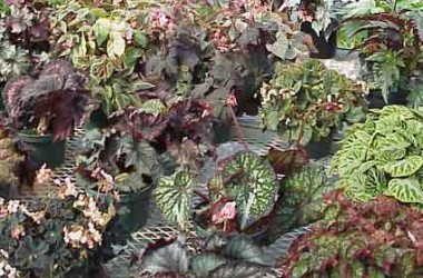 Begonia Collection (5 Plants)