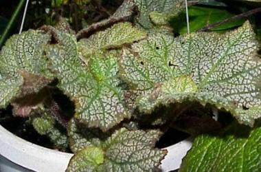Begonia Magic Lace [Rex]