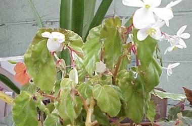 Begonia richmondensis