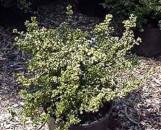 Buxus microphylla Curlilocks