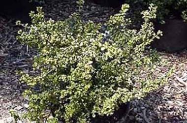 Buxus microphylla Curlylocks