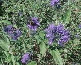 Caryopteris clandonensis Longwood Blue