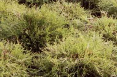 Chamaecyparis pisifera filifera Lemon Thread