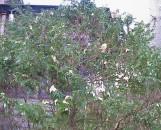 Chamaecyparis pisifera plumosa albopicta