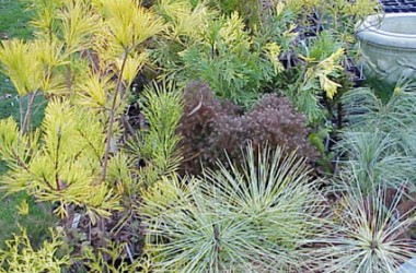 Conifer Collection (5 plants)
