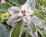 Costus dubius [amazonicus] variegatus [hort]
