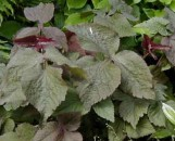 Cryptotaenia japonica atropurpurea