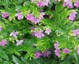 Cuphea hyssopifolia Yatsubusa