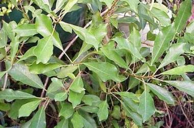 Ficus natalensis