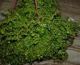 Ficus pumila [repens] Curly