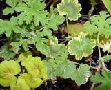 Geranium: Pelargonium Collection