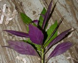 Gynura Bicolor [hort]