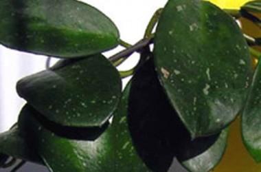 Hoya gonolobioides [hort]