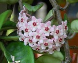 Hoya carnosa Krinkle 8 [hort]