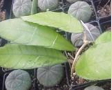Hoya meredithii [vitellinoides]