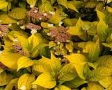 Hydrangea serrata Golden Sunlight ppap