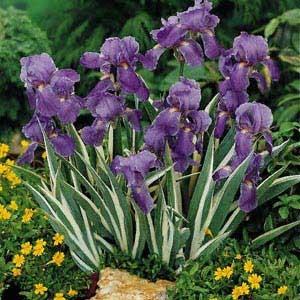 Tiffany Blue Color Code >> Iris pallida variegata - Glasshouse Works