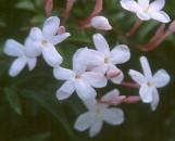 Jasminum floribundum