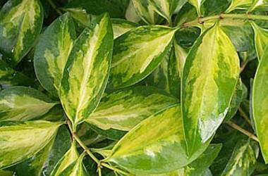 Jasminum volubile maculata [hort]