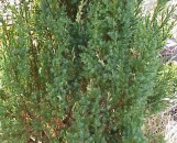 Juniperus chinensis Blue Point Variegated