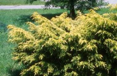 Juniperus media Saybrook Gold