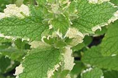 Mentha suaveolens [rotundifolia] variegata