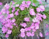 Oxalis variabilis [purpurea] Grand Duchess