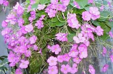 Oxalis variabilis [purpurea] Grand Duchess