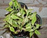 Pedilanthus tithymaloides smallii