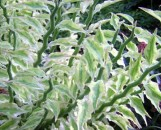 Pedilanthus tithymaloides variegatus
