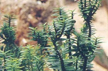 Pedilanthus tithymaloides nanus