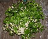 Plectranthus verticillatus variegatus