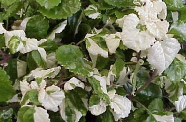 Tropical Gardens - Spectacular Substance (5+ Plants)