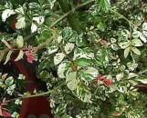 Rosa wichuraiana Curiosity [variegata]