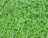 Selaginella kraussiana brownii