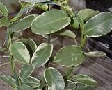Stephanotis floribunda marginata