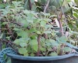 Thorncroftia [plectranthus] succulenta